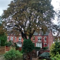 TPO Horse Chestnut after Lift & Thin