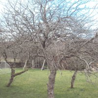 OrchardPruning1Before2