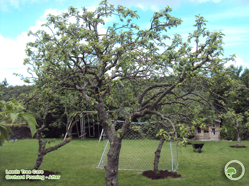Orchard in Leeds after pruning