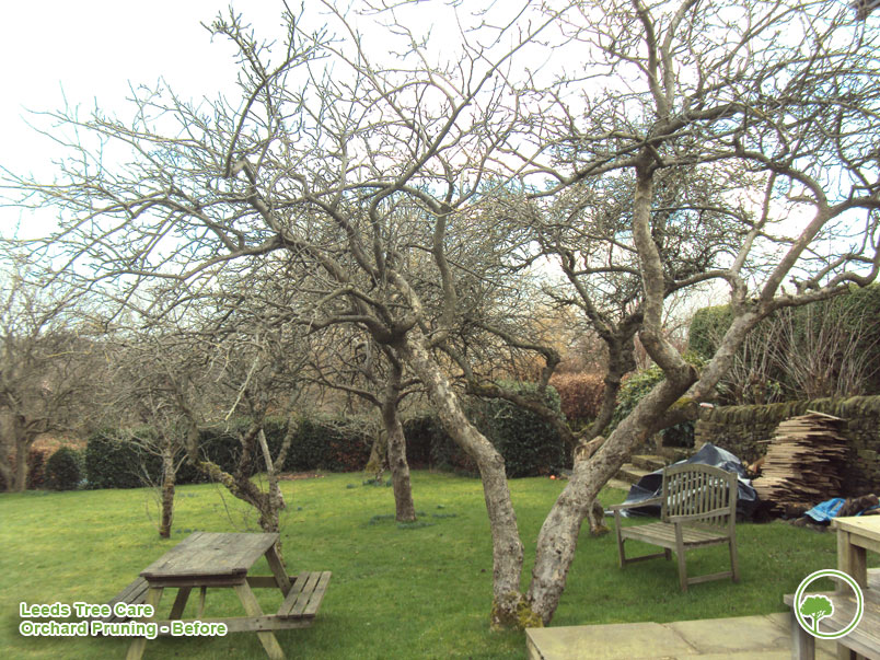 Orchard Pruning before